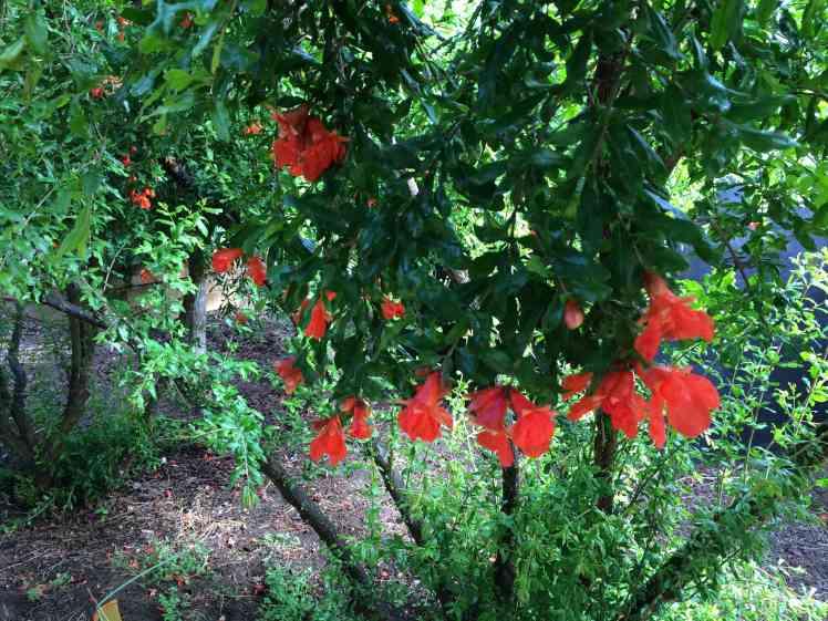 pomegranate may